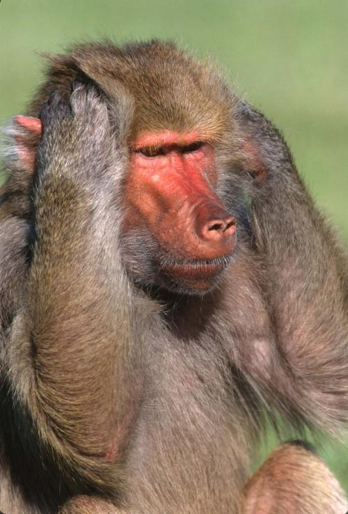 Baboon 2 Hear No Evil