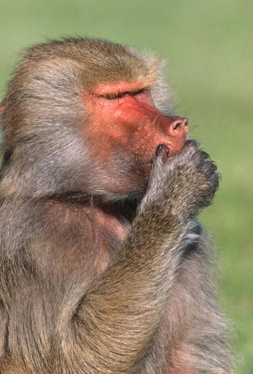 Baboon 3 Speak No Evil