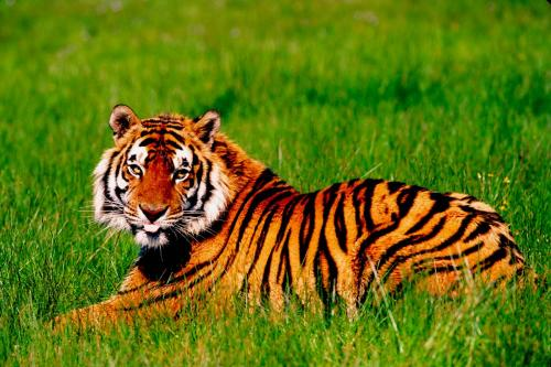 Bengal Tiger in Grass