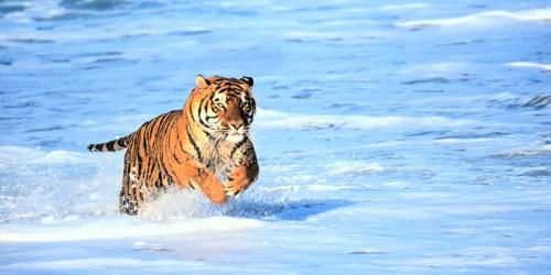 Bengal Tiger in Surf 2 Panoramic