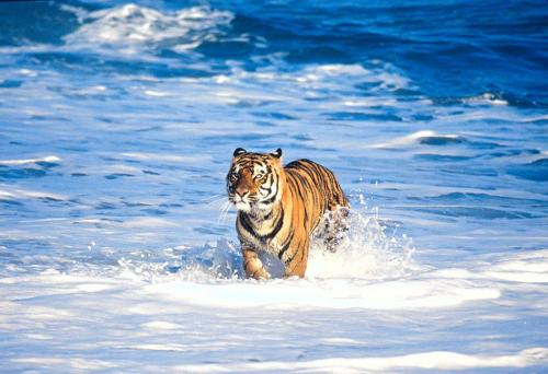 Bengal Tiger in Surf 3