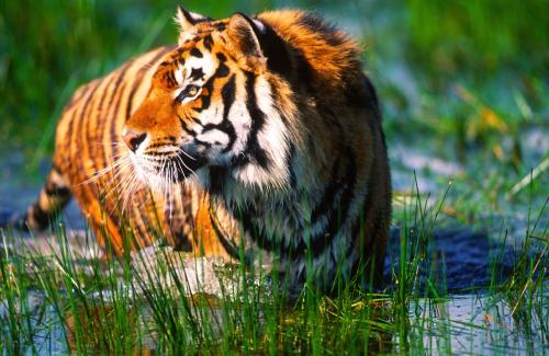 Bengal Tiger in Swamp