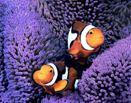 Percula Clownfish Pair