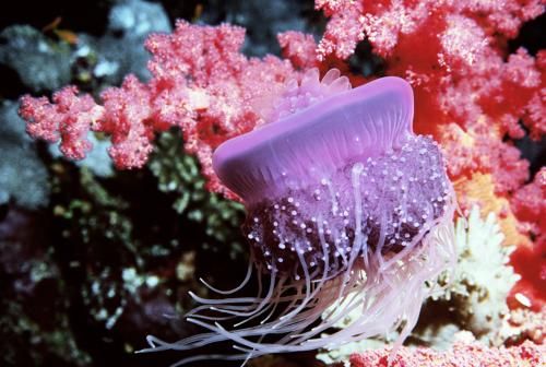Crown Jellyfish and soft Corals