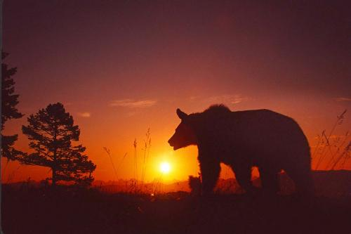 Grizzly Bear Sunset 1