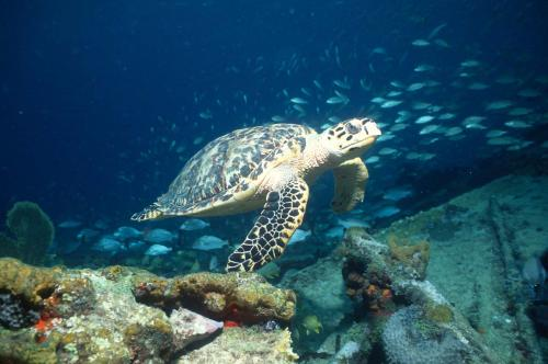 Hawksbill Sea turtle over Wreck