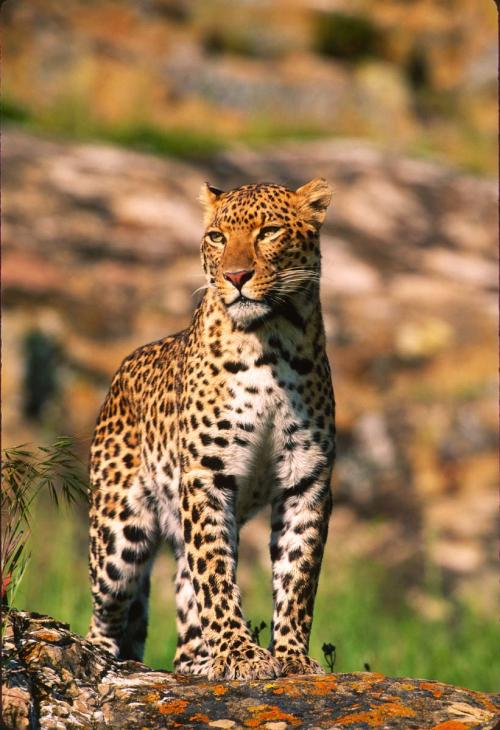 Majestic Spotted Leopard