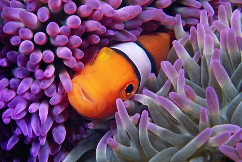 Percula Clownfish-H