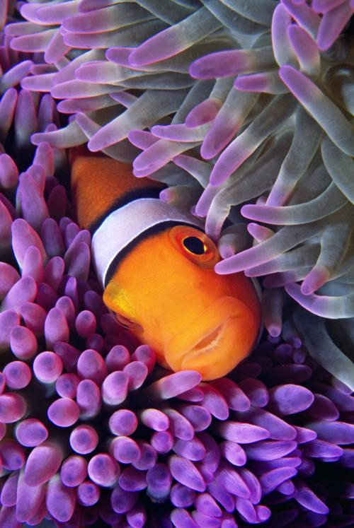 Percula Clownfish-V