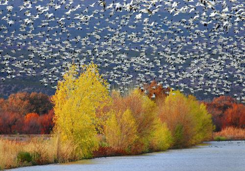 Snow Geese and Fall Colors