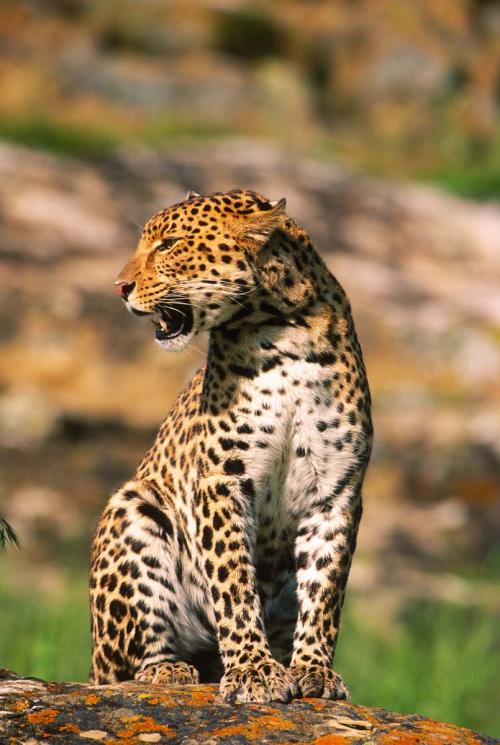 Spotted Leopard Looking Left
