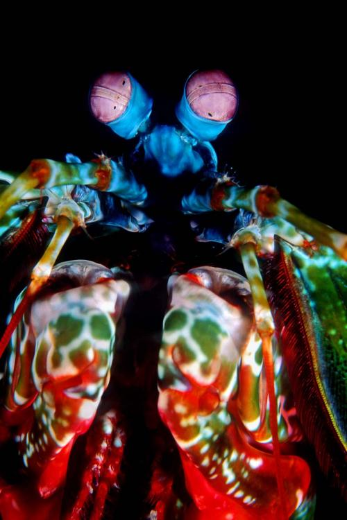 Peacock Mantis Shrimp Close-up