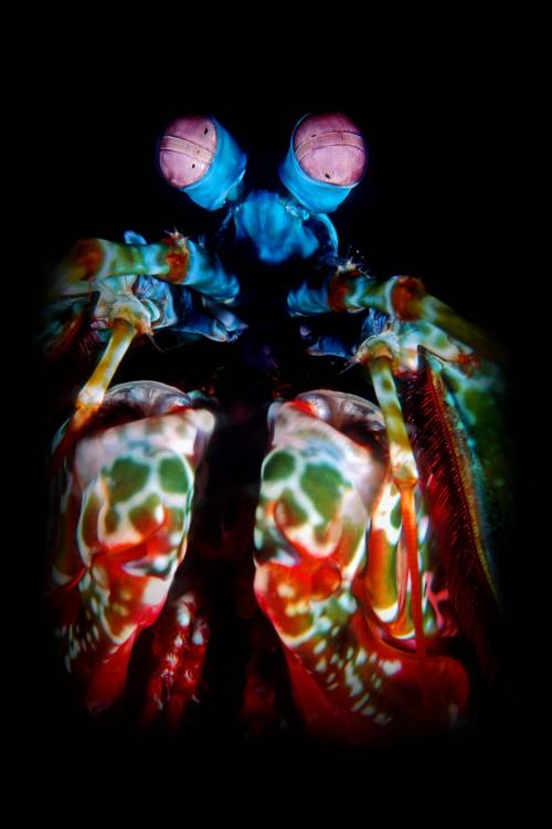 Peacock Mantis Shrimp in Black