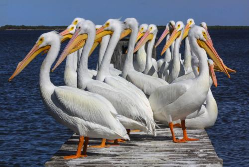 White Pelicans on Dock