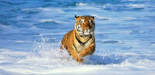 Bengal Tiger in Surf Panoramic